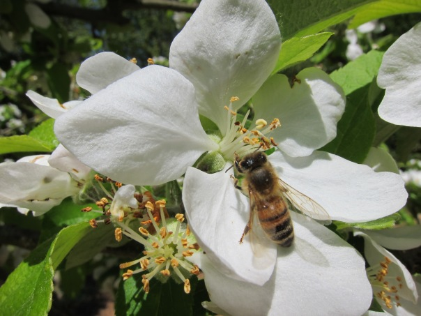 One of my honeybees on an apple blossom.  Bees are good pollinators mostly due to their large numbers.