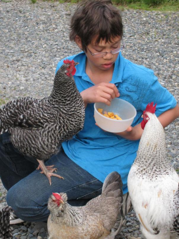 Damien luring the chickens with treats.  All of our chickens are pets and losing them is painful.