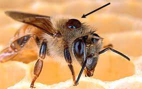 Honeybee with varroa mite attached.  This is one of the many pest that afflict honeybees.