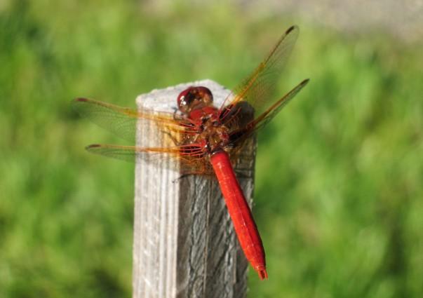 A non traditional pollinator.