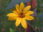 Jerusalem Artichoke flowering just in time for the first frost.
