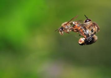 Queen-Bee-Mating-With-Drones-Bee