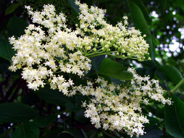 The flowers of the Black Elderberry are also medicinal and are tasty as well.